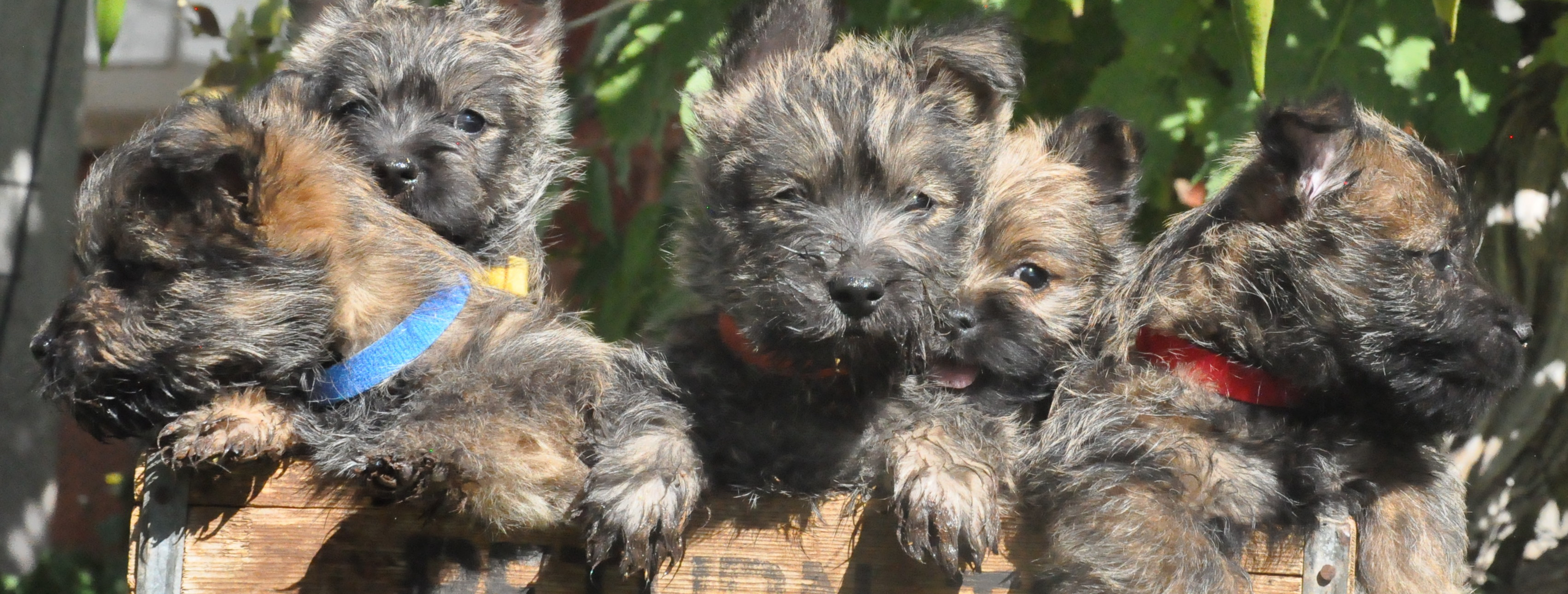Sandstone Cairn Terriers – A Life of Joy and Companionship and Just