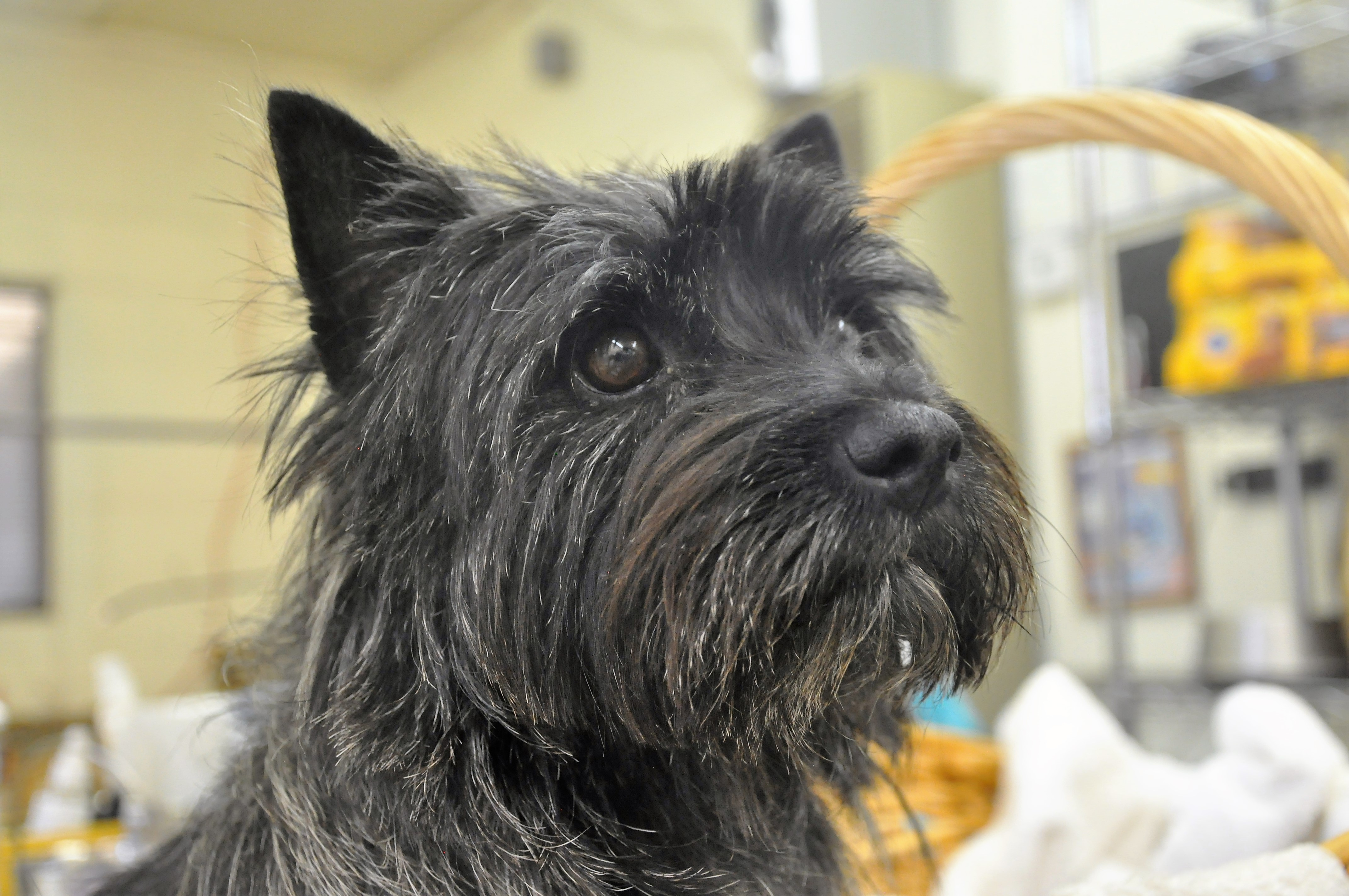 sandstone cairn terriers a life of joy and companionship and just